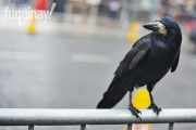galway-crow-1