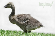 baby-goose