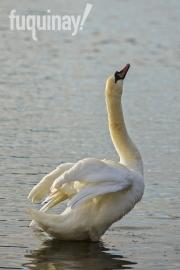 irish-swan