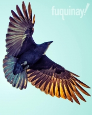 native-crow