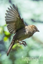 sparrow-flies