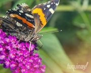 red-admiral