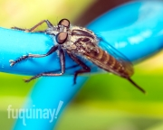 robberfly-1