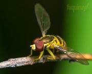 hoverfly-walk
