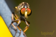 robberfly-2