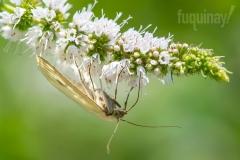 sitochroa-palealis-moth