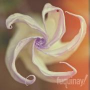 datura-orange-pinwheel