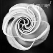 datura-rose-bw