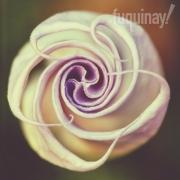 datura-rose