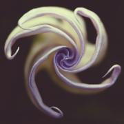 datura-dark-pinwheel