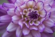 pink-dahlia-close-best