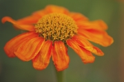 zinnia-frontpage