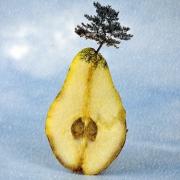 pear-tree